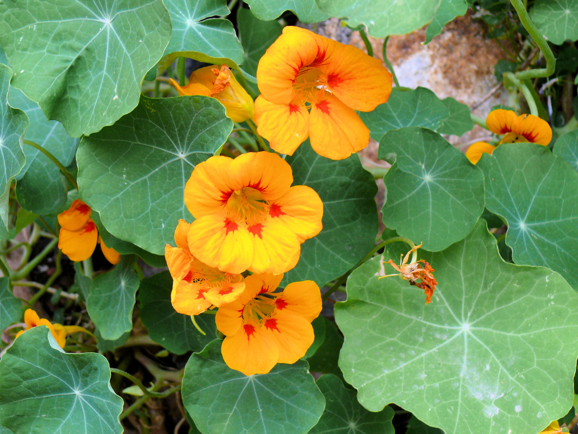 fleurs-comestibles-capucines-terrasse-balcon