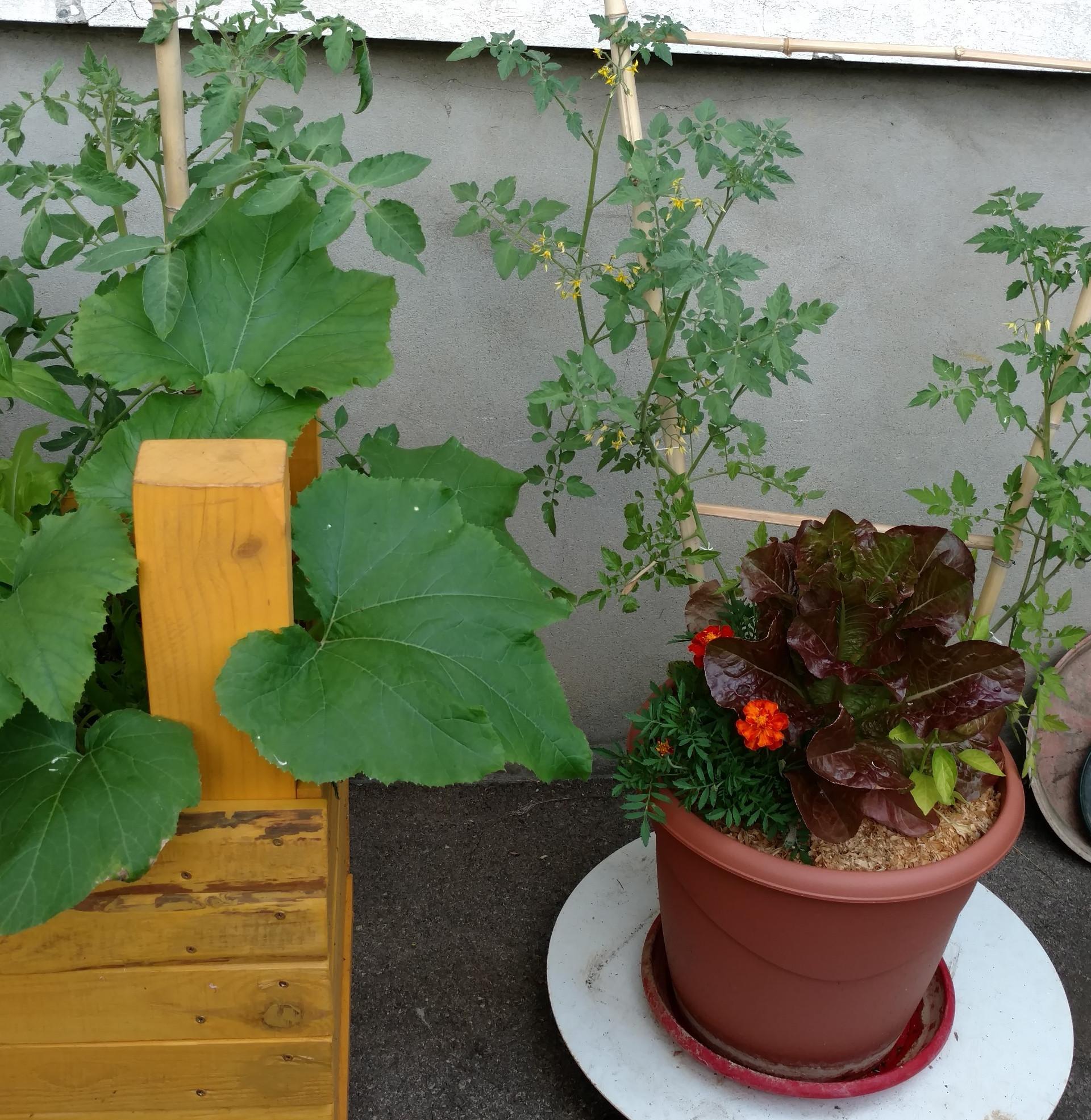 Pot fleurs comestible laitue tomate oeillet courgette