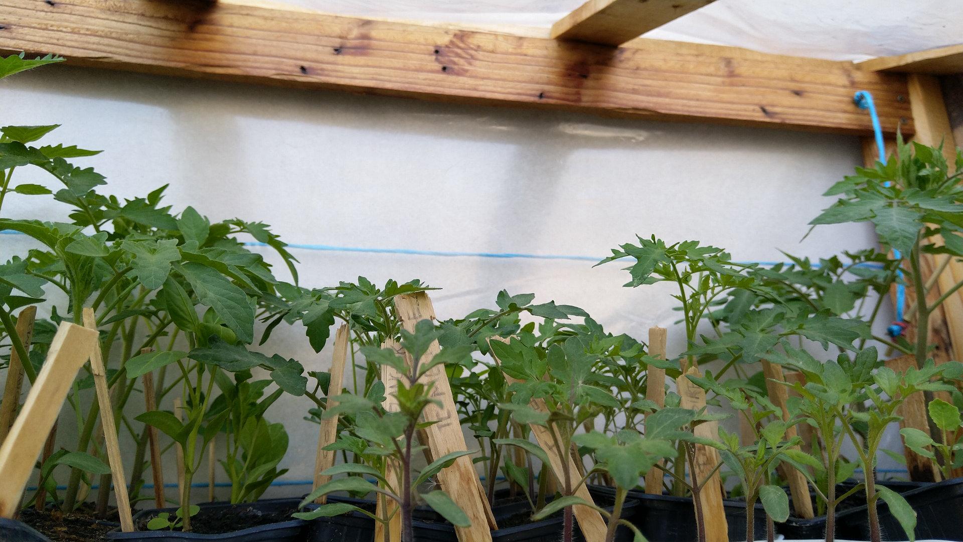astuces-plantation-tomate-saints-glace