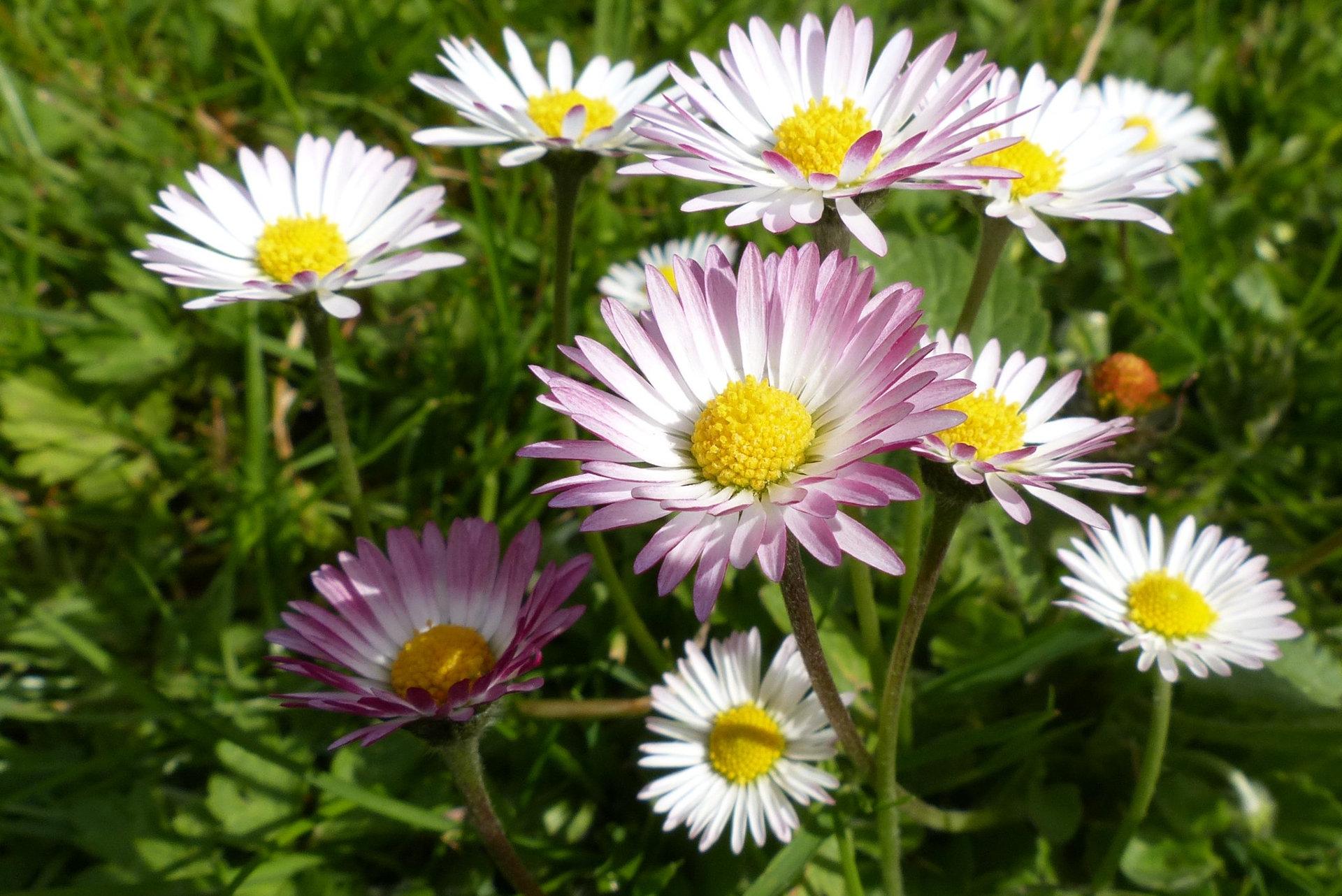 paquerette-sauvage-jardin-urbain-pollinisation