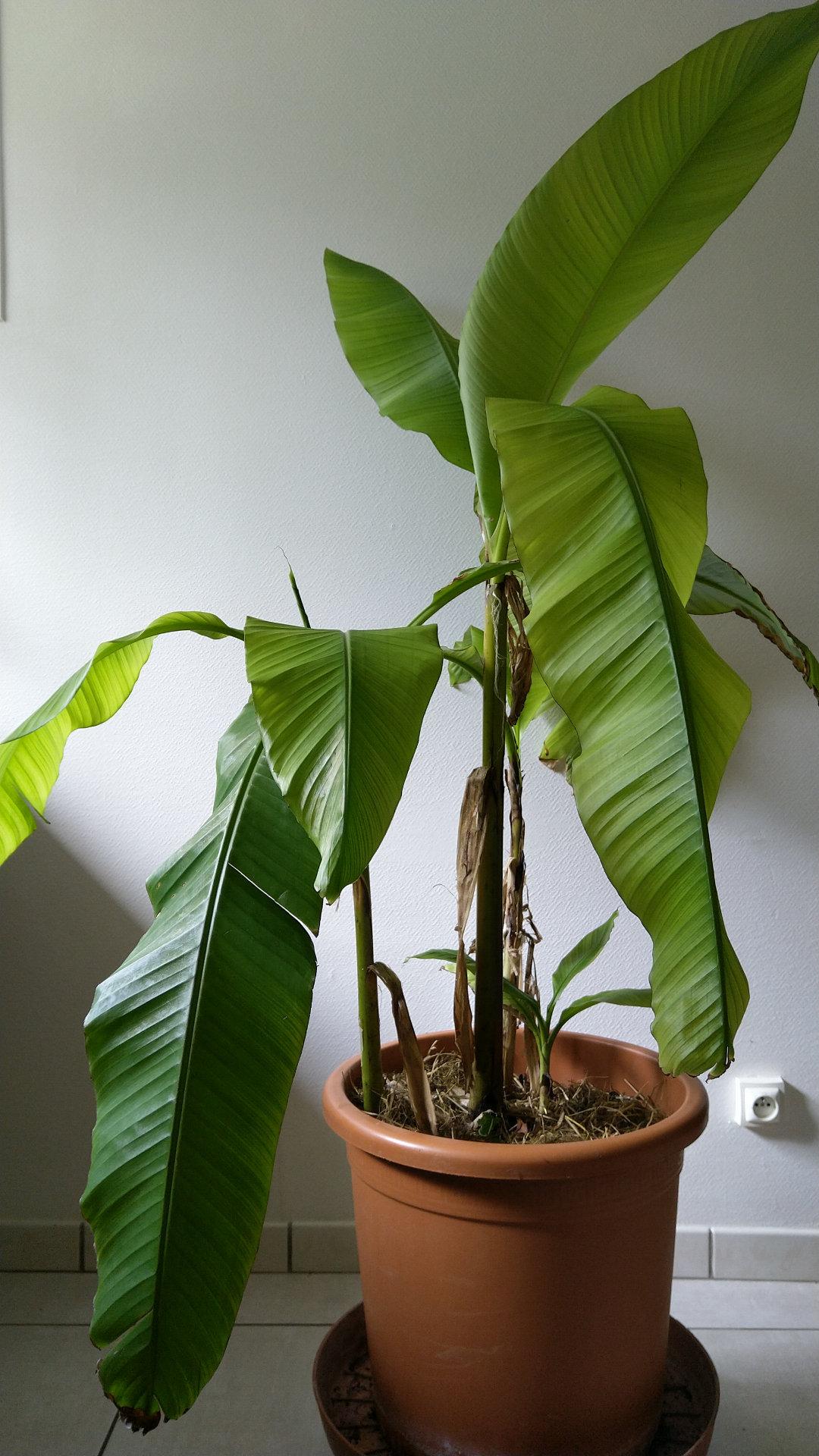 bananier-pot-fleur-bac-jardiniere-balcon