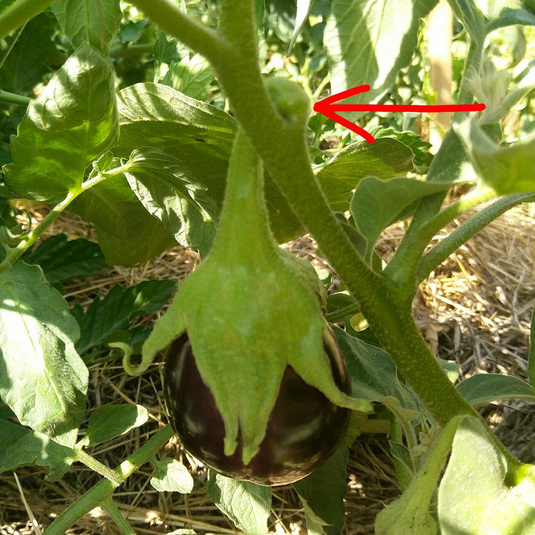 aubergine-recolte-facile-potager-permaculture