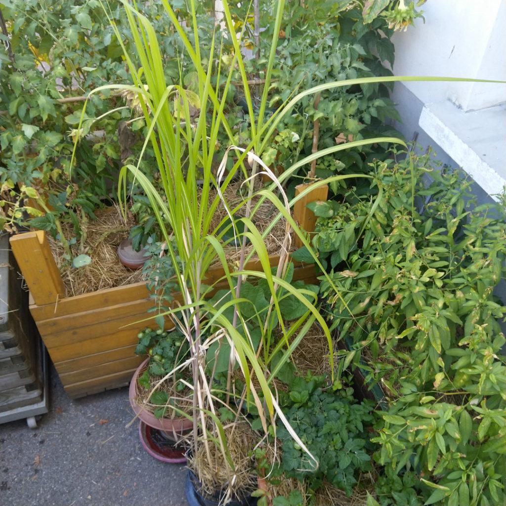 miscanthus-giganteus-pot-fleurs-balcon